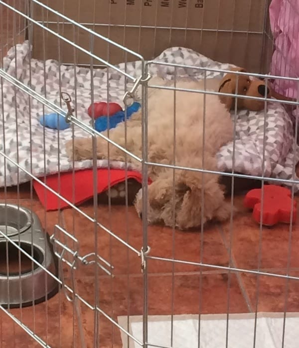 Charlie the Poochon having a nap in pen