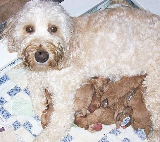 Doodle puppies with mother