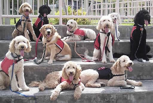 Labradoodles are used extensively as assistance dogs