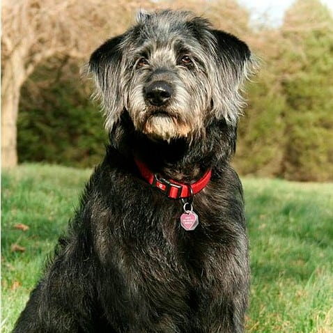 Labradoodle with Hair Coat