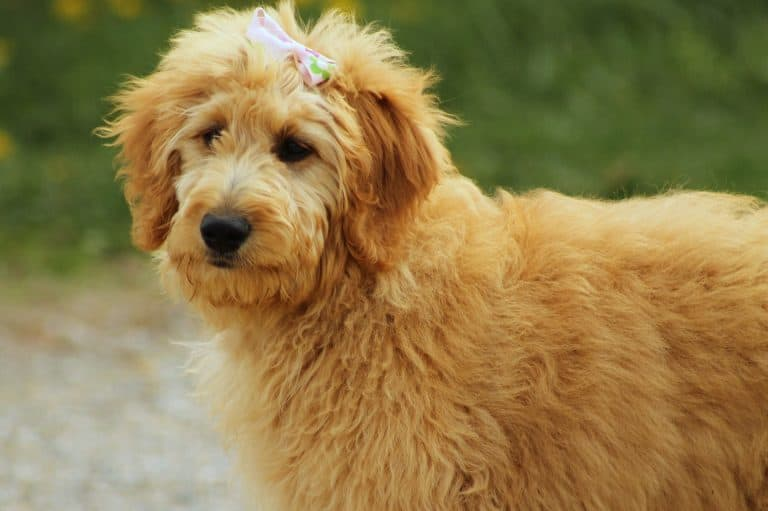 Goldendoodles are a great poodle mix