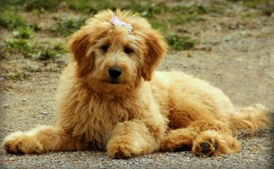 goldendoodle-breed-information