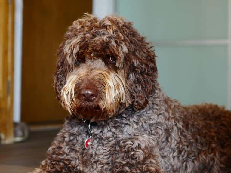 Picture of Brown Labradoodle