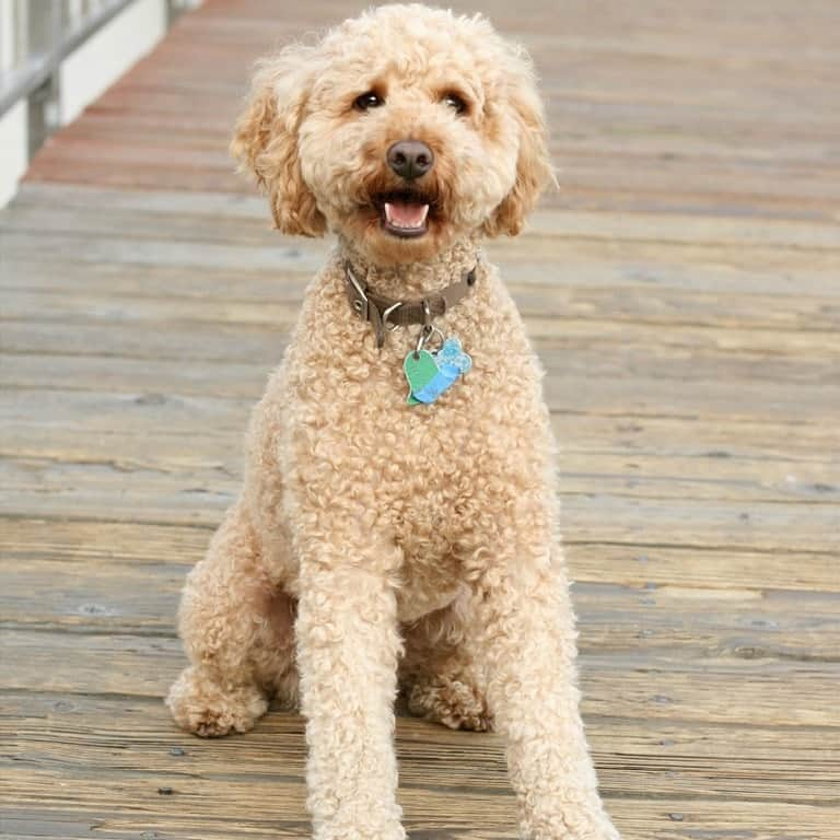 Labradoodle with Curly Coat