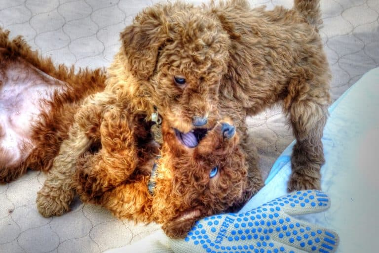 Goldendoodle Puppies Playing