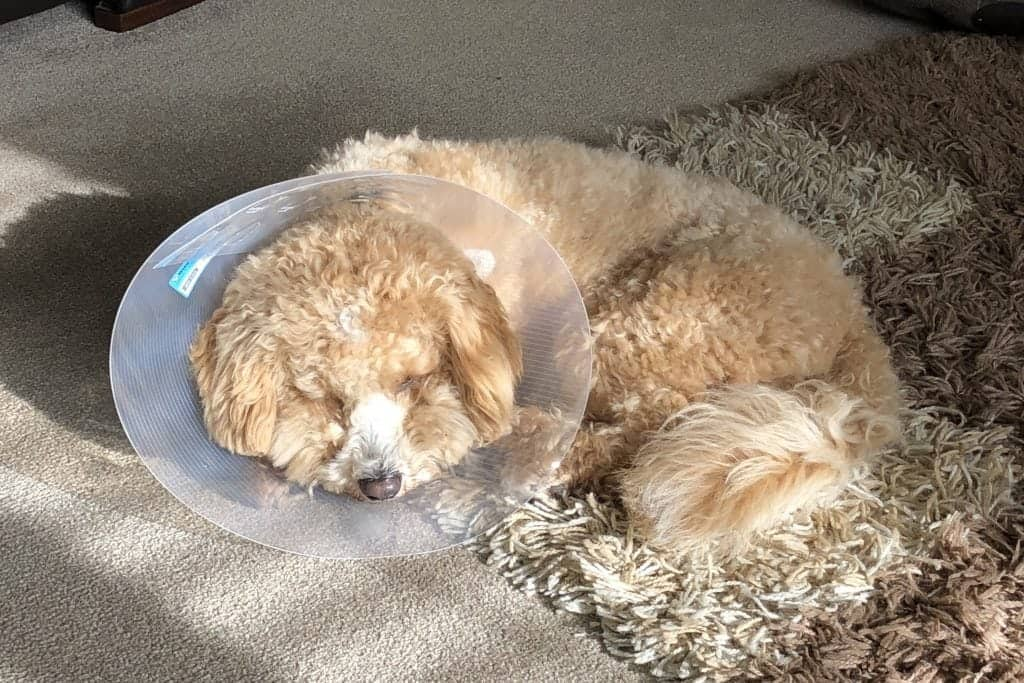 Picture of Charlie convalescing after neutering
