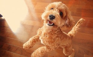 cockapoo-breed-information