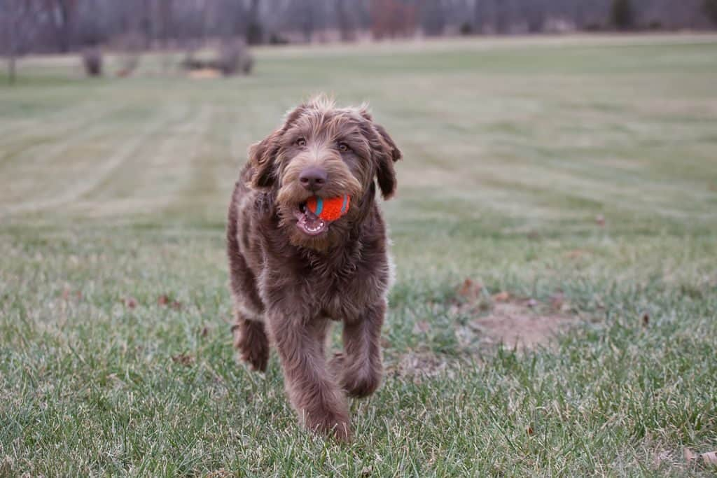 Labradoodle Running with ball in mouth