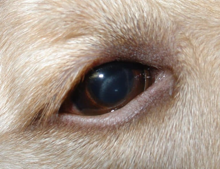 Corneal_Dydtophy_in_dog