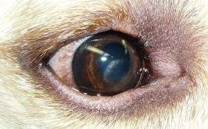 Dog Eye Infections: Simple Advice For All Dog Owners